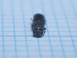 Lyctidae195