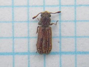 Lyctidae220