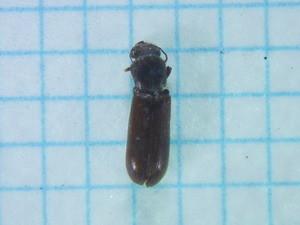 Lyctidae228