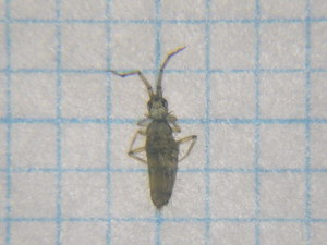 Collembola01