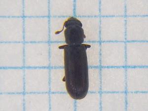 Lyctidae246