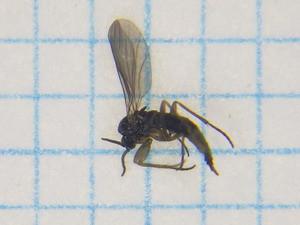 Sciaridae04
