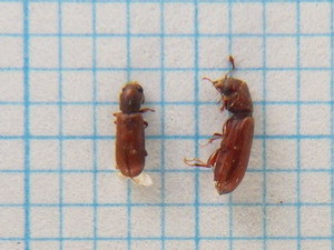Lyctidae256