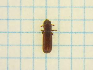 Lyctidae264