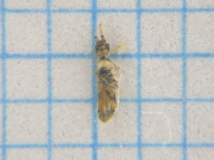 Collembola02