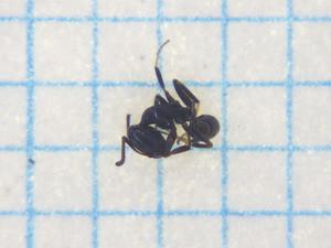 Ant105