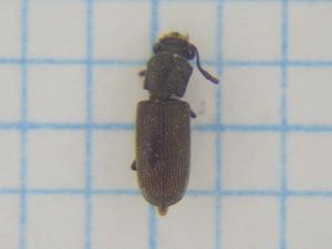 Lyctidae310