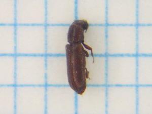 Lyctidae313