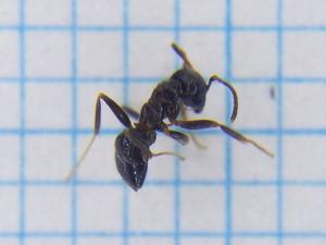 Ant110