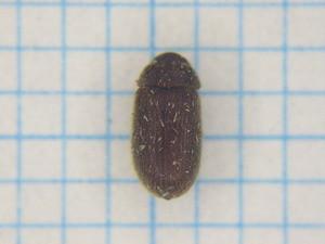 Anobiidae04