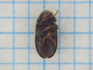 Anobiidae05