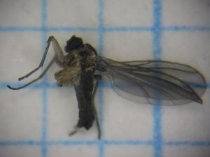 Sciaridae06