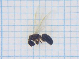 Ant115