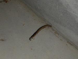 地下室で確認されたムカデの死骸
