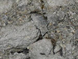 巣穴から出入りするサクラアリ
