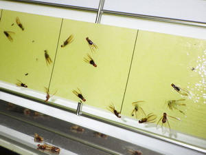 ライトトラップに捕獲されたアメリカカンザイシロアリ羽アリ