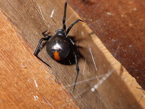 床下に生息するセアカゴケグモ
