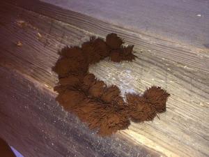 梁で確認された変形菌類