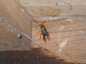 越冬する女王蜂