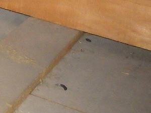 天井裏で確認されたクマネズミの糞