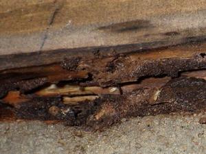 土台の水漏れとともに確認された活動中のシロアリ