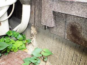 外壁に構築されたイエシロアリの蟻道