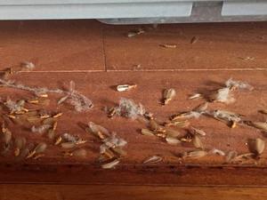 RC造から発生したイエシロアリの羽アリ