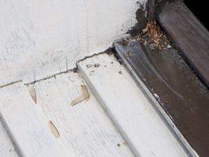 アメリカカンザイシロアリの落翅
