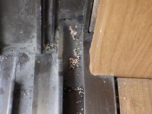 堆積したアメリカカンザイシロアリの糞