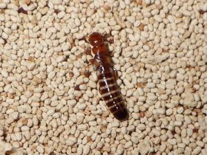 腹部が膨らんだアメリカカンザイシロアリ落翅虫
