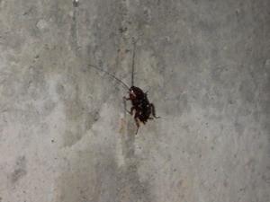 基礎面で徘徊するゴキブリ