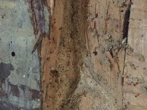 リフォーム現場で確認されたヒメアリ