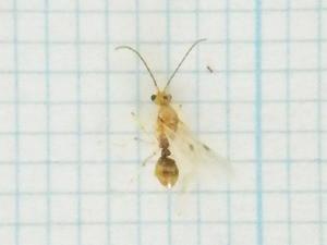 オオハリアリ雌の羽アリ