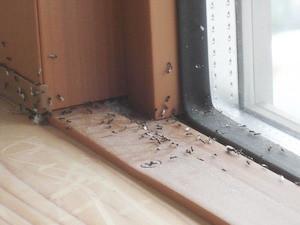 窓際で確認された羽アリ