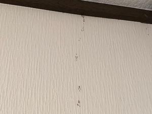 壁面を徘徊するサクラアリ