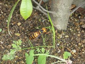 越冬場所を探すスズメバチ