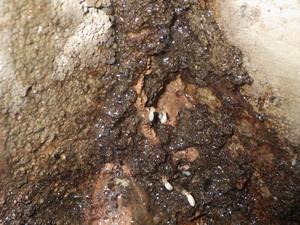 駆除処理によって蟻道から流出するシロアリ
