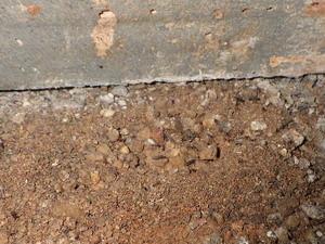 土中巣系から発生するサクラアリの羽アリ