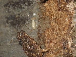 蟻道から流出したシロアリ