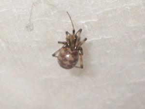 ヒメグモ科カガリグモ属のマダラヒメグモ