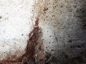 蟻道内で確認されたシロアリ