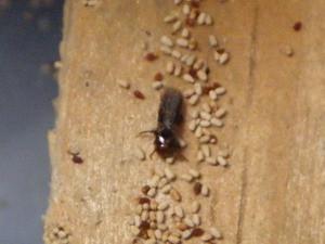 1月に発生したと見られるアメリカカンザイシロアリの羽アリ死骸