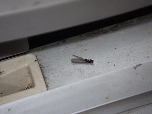 トイレ窓枠で確認された羽アリ