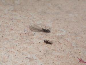 室内で確認されたヤマトシロアリ羽アリ死骸