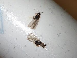 工場事務所で発生した羽アリ