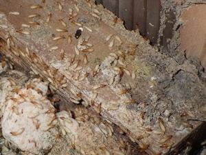 ベイトボックス内で活動する兵蟻