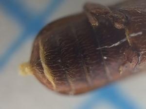 アフリカヒラタキクイムシ雌の腹部