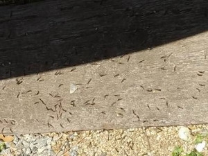 枕木から発生した羽アリ