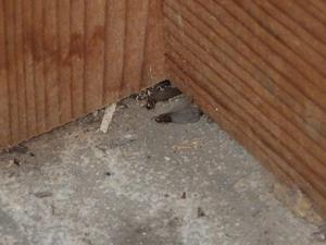 玄関で確認された羽アリ死骸