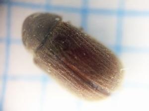 発生種はジンサンシバンムシ